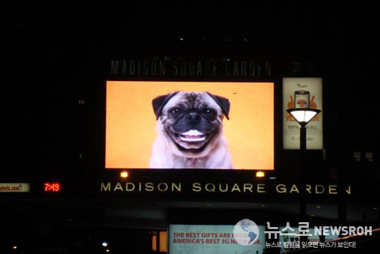 독 쇼가 진행되는 메디슨 스퀘어 가든 전광판에 등장한 애견 보험 광고. DSC09278.jpg