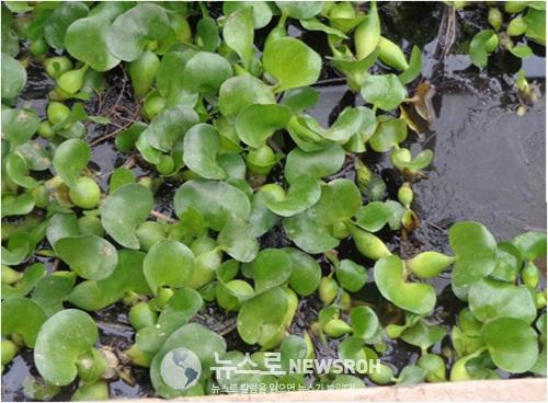 물웅덩이에서 자라는 단백풀(위성과학자살림집 남새온실. 2015년).jpg
