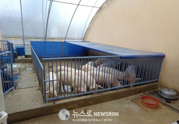 온실 내부 돼지우리에 11마리 새끼돼지가 통통하다..jpg