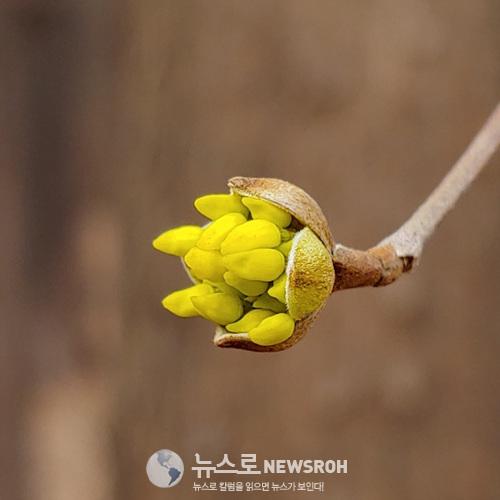 0309 노란 산수유꽃망울.jpg