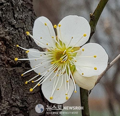 0308 매화꽃활짝.jpg