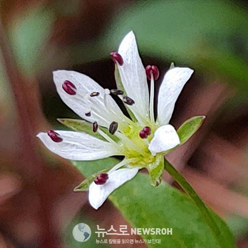 0407 큰개별꽃.jpg