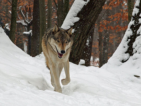 1024px-Winter-wolf-snow_-_West_Virginia_-_ForestWander.jpg